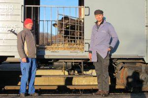 Der Muni schaut durchs Gitter zum Güterwagen K 3 44735 hinaus, umrahmt vom Personal. 27. November 2011 | Bild: H.U. Kneuss