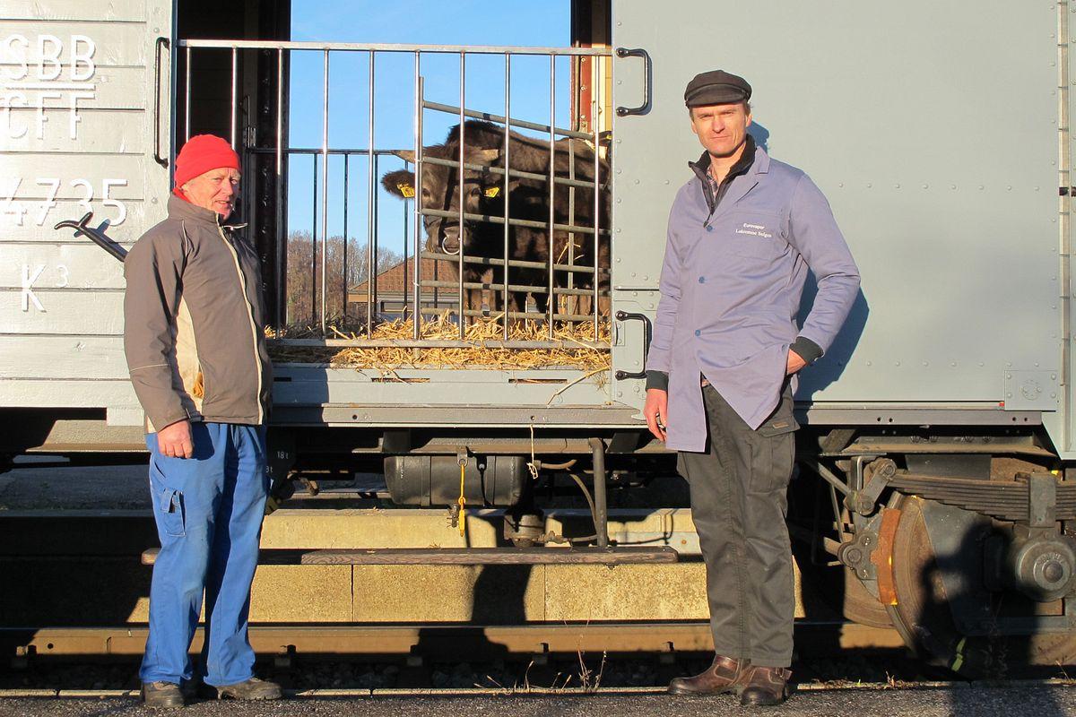 Der Muni schaut durchs Gitter zum Güterwagen K 3 44735 hinaus, umrahmt vom Personal. 27. November 2011   Bild: H.U. Kneuss